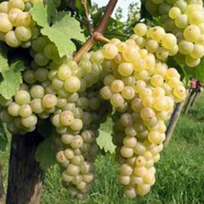 Viniče - Vinič stolový ´Chrupka biela´