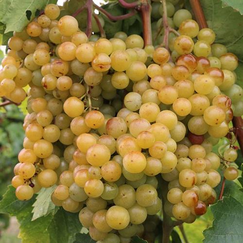 Viniče - Vinič stolový ´Luna´