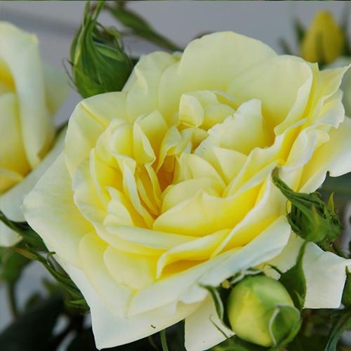 Ruže KORDES - Ruža ´Limona´