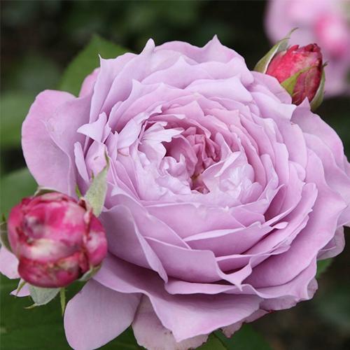 Ruže KORDES - Ruža ´Novalis´