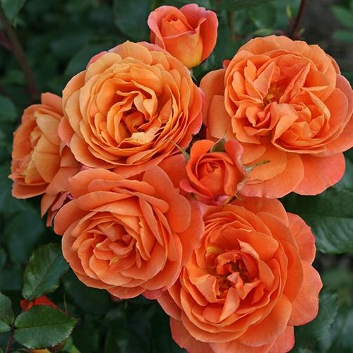 Ruže KORDES - Ruža ´Phoenix´