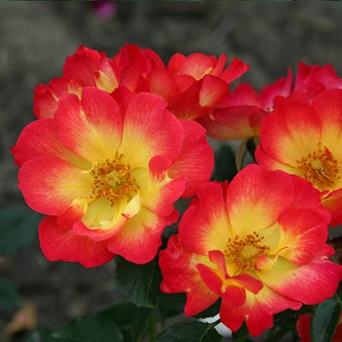 Ruže KORDES - Ruža ´Summer of Love´