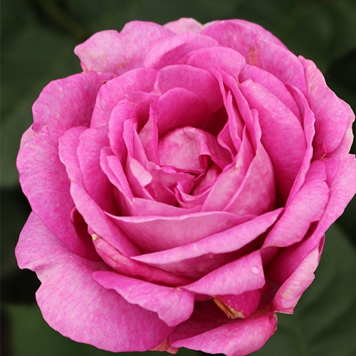 Ruže KORDES - Ruža ´Carmen Würth´