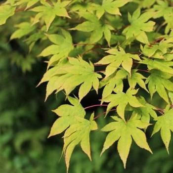 Listnaté stromy - Javor dlaňovitolistý ´Verde´