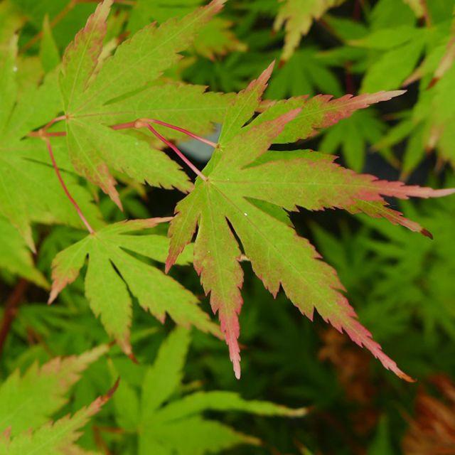 Listnaté stromy - Javor dlaňovitolistý ´Sango kaku ´