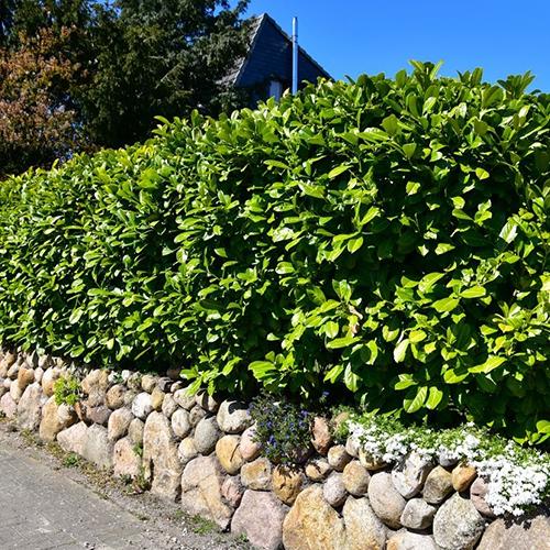 Živé ploty - Vavrínovec lekársky ´Elly´