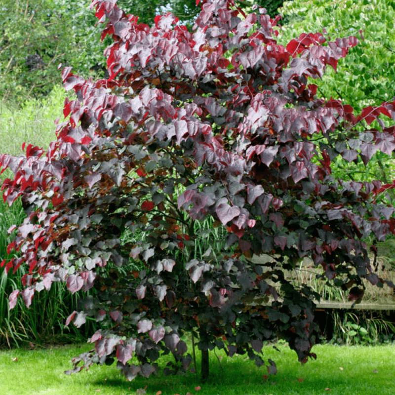 Listnaté stromy - Judášovec kanadský 'Forest pensy'
