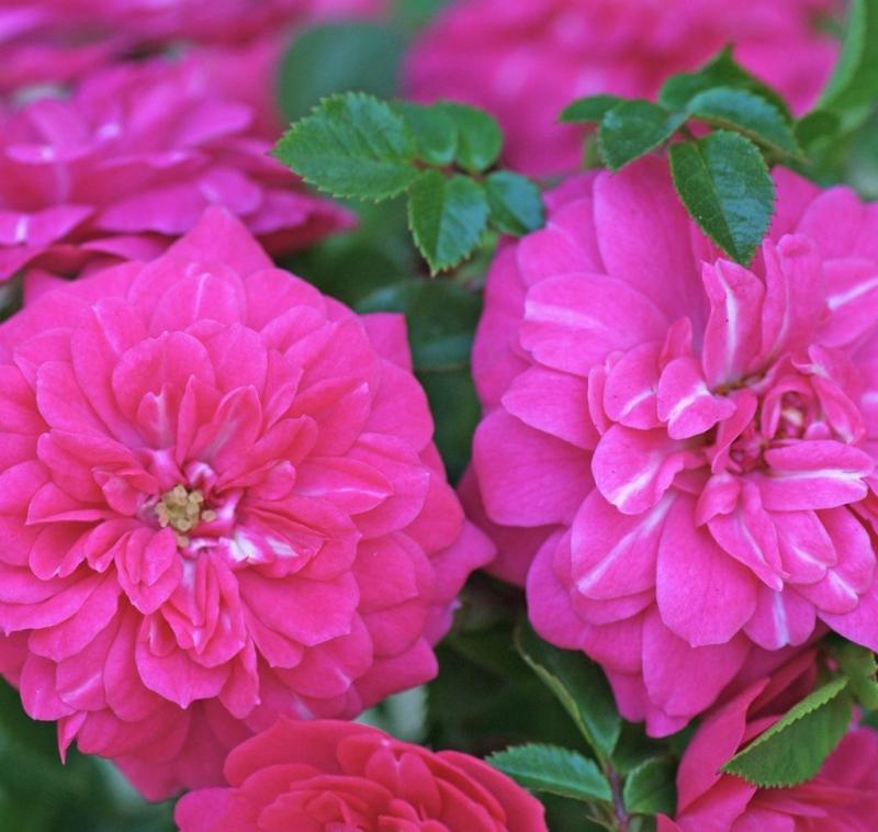 Ruže KORDES - Ruža ´Knirps´