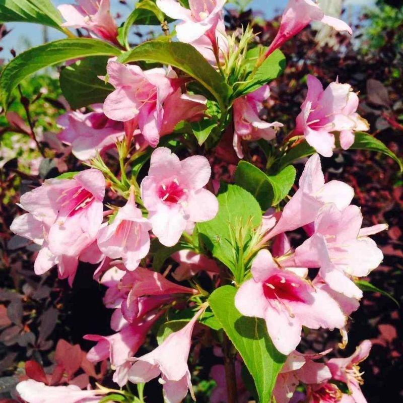 Okrasné kríky - Vajgélia kvetnatá 'Boscoop Glory'