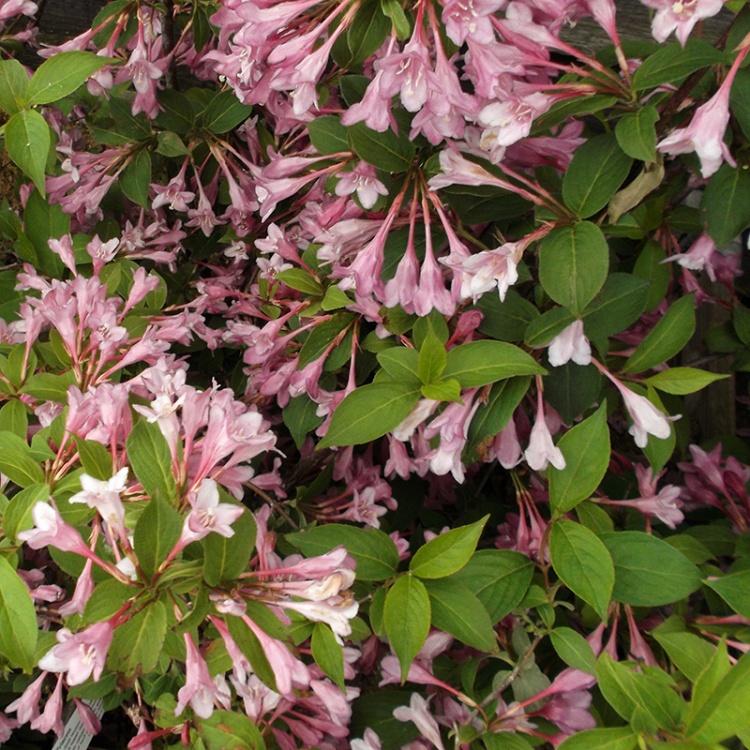 Okrasné kríky - Vajgélia kvetnatá 'Pink Princess'