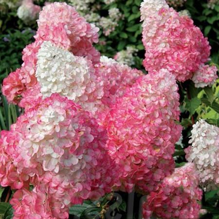 Hortenzie - Hortenzia metlinatá ´Pink Lady´