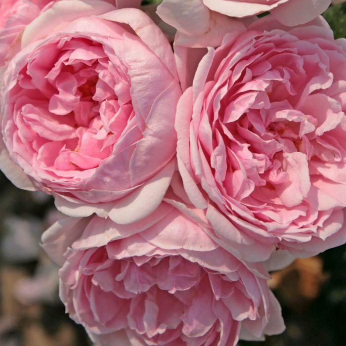 Ruže KORDES - Ruža ´Cinderella´