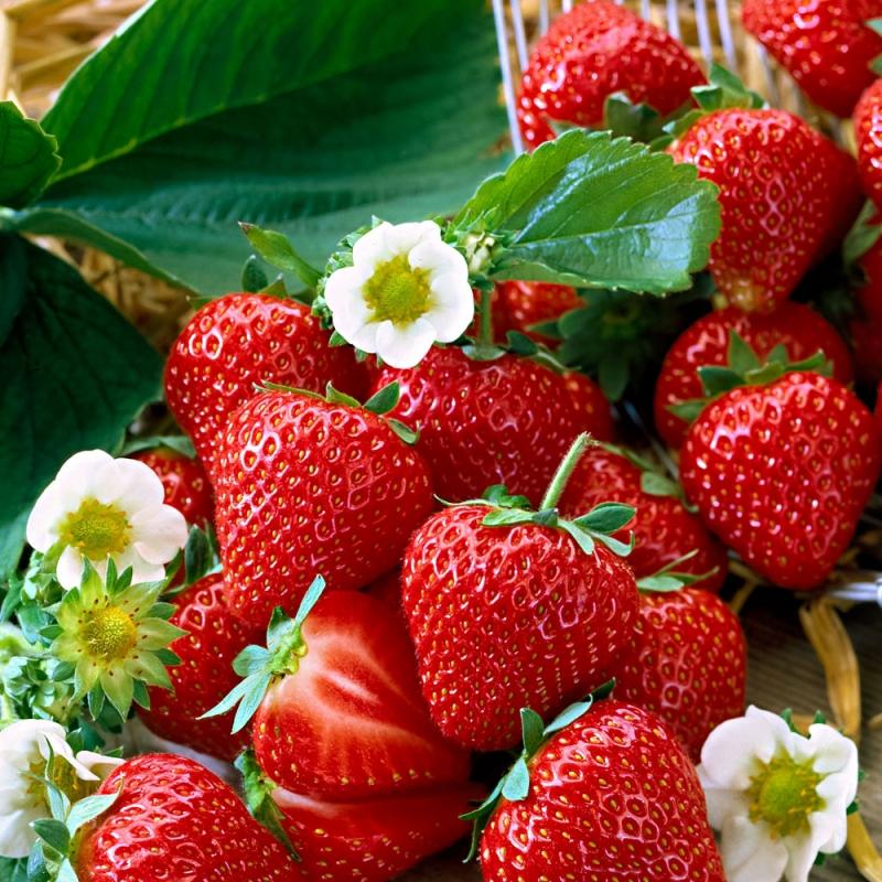Drobné ovocie - Jahoda ´Elan´ stálorodiaca