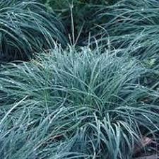 "Okrasné trávy - Ostrica ""Blue Zinger"""