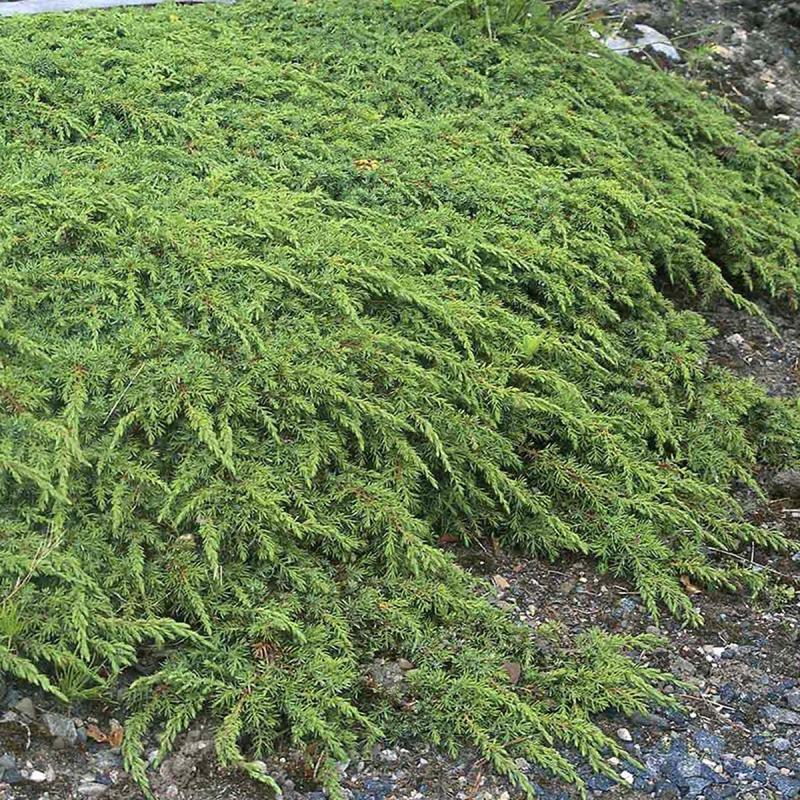 """Plazivé rastliny - Borievka obyčajná """"Green Carpet"""""""