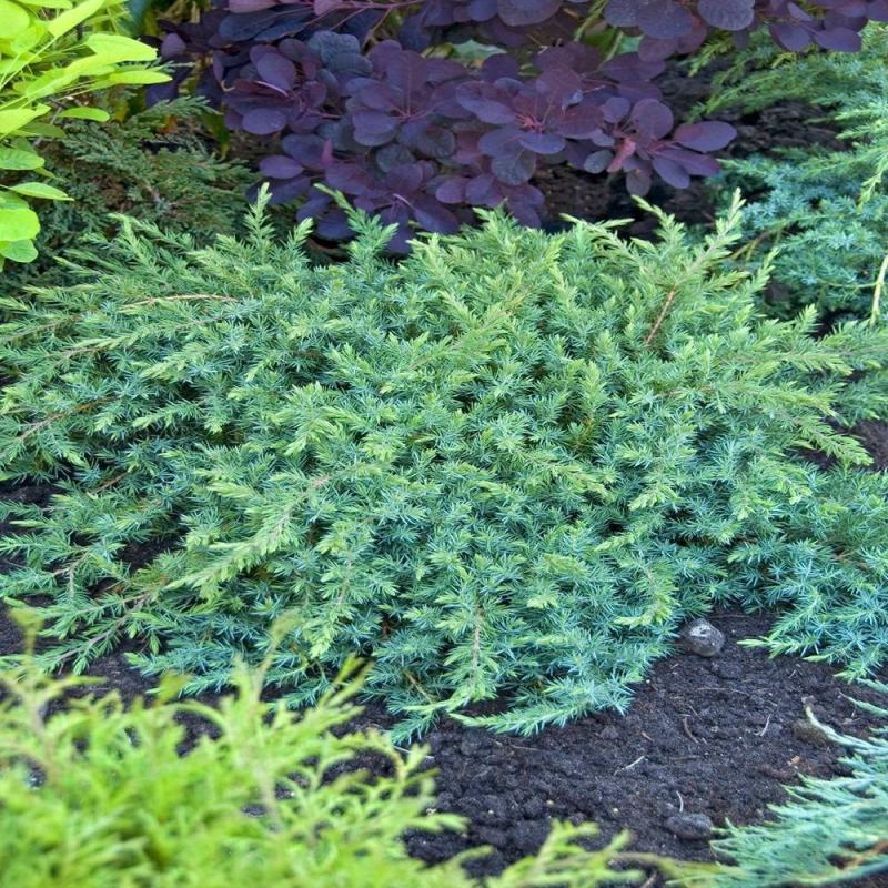 Plazivé rastliny - Borievka ´Schlager´