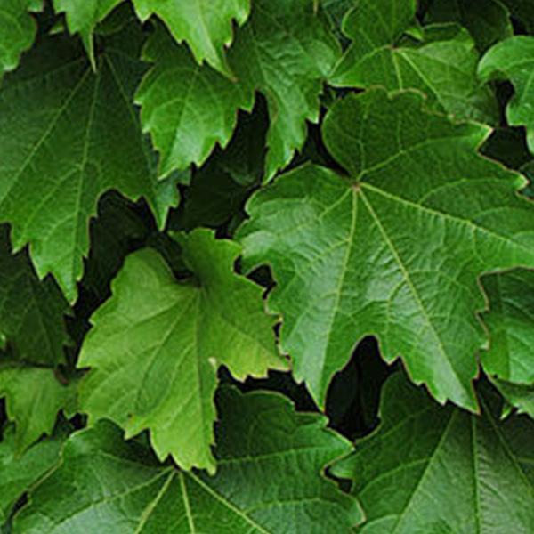 Popínavé rastliny - Pavinič trojlaločný ´Diamond Mountains´