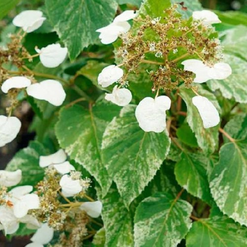 Popínavé rastliny - Schizophragma hydrangeoides ´Burst of light´