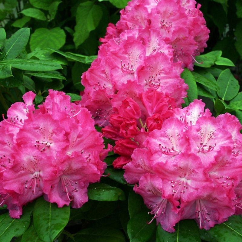 """Azalky a Rododendróny - Rododendron hybridný """"Germania"""""""
