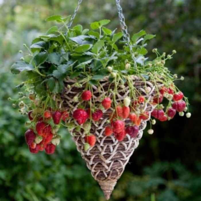 Drobné ovocie - Jahoda ´Mara de Bois´ stálorodiaca odroda