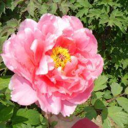 Trvalky - Pivonka krovitá - Ružová