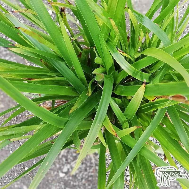 Okrasné trávy - Chlpaňa lesná