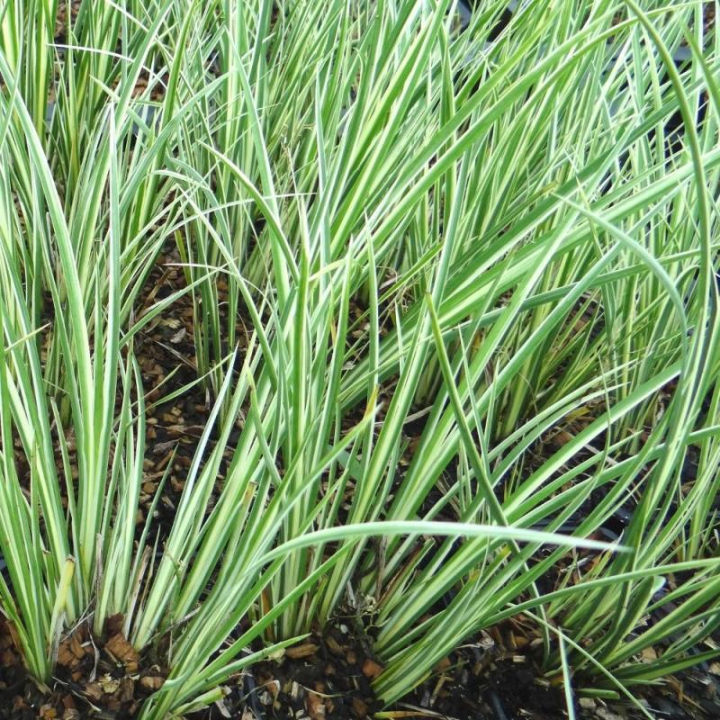 Okrasné trávy - Puškvorec trávolistý ´Argenteostriatus´