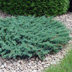 Plazivé rastliny - Borievka ´Wiltonii´