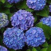 Hortenzie - Hortenzia kalinolistá ´Early Blue´
