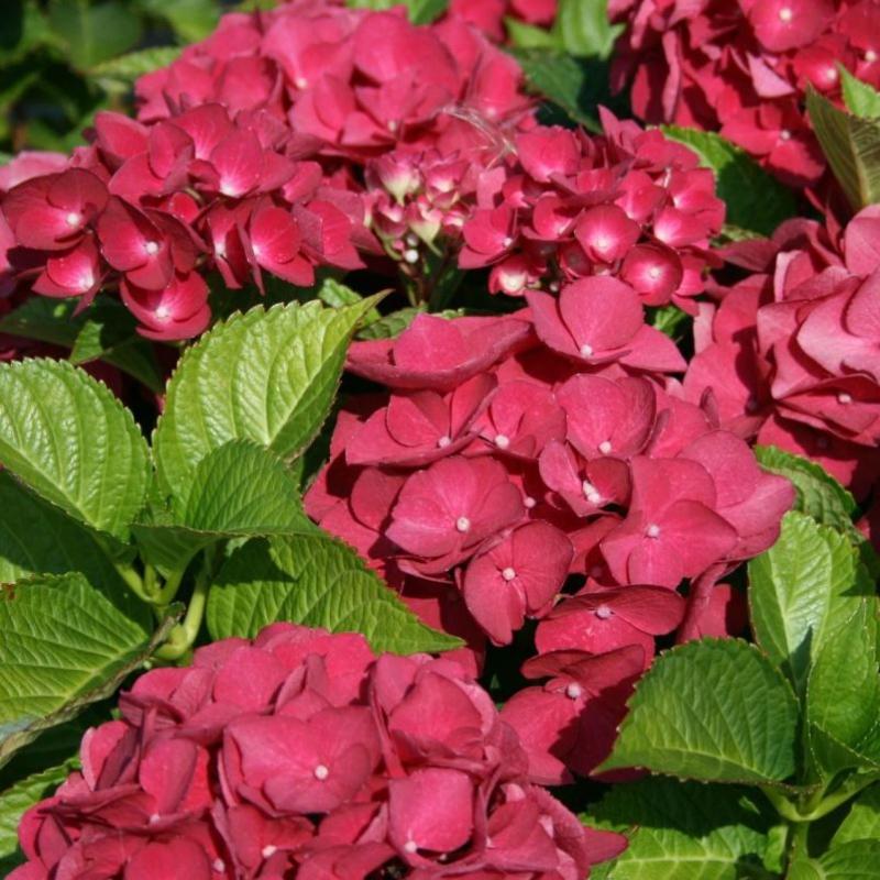 Hortenzie - Hortenzia kalinolistá ´Red Baron´