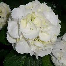 Hortenzie - Hortenzia kalinolistá ´Snowball´