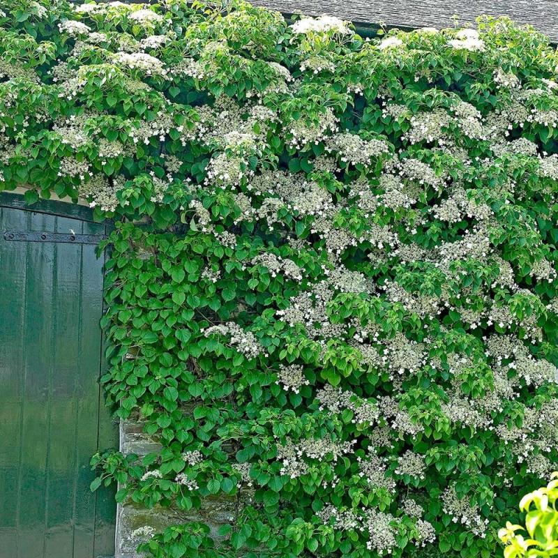 Popínavé rastliny - Hortenzia popínavá