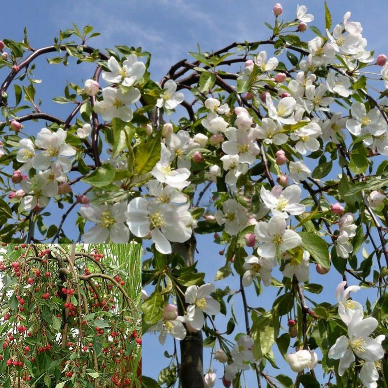 Listnaté stromy - Jabloň okrasná ´Red Jade´