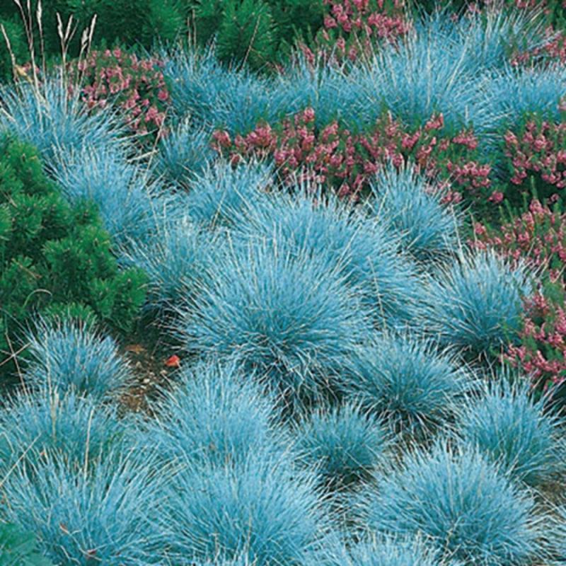 "Okrasné trávy - Kostrava ""Elijah Blue"""