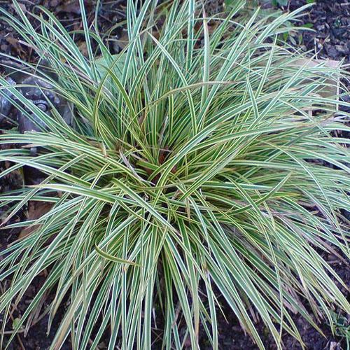 Okrasné trávy - Ostrica ´Variegata´
