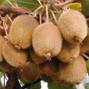 Popínavé rastliny - Kiwi samoopelivé ´Boskoop´