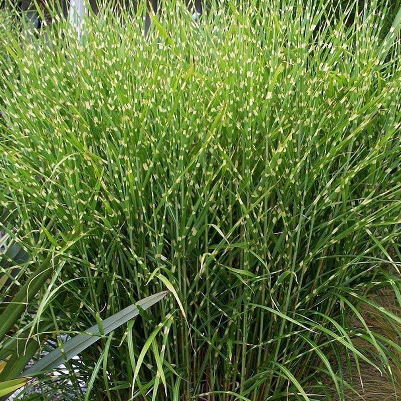 Okrasné trávy - Ozdobnica čínska Strictus Dwarf''