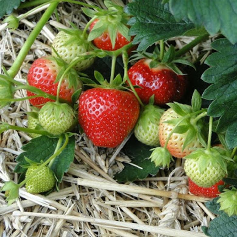 Drobné ovocie - Jahoda ´Induka´ stredne skorá odroda