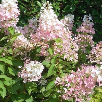 Hortenzie - Hortenzia metlinatá ´Confetti´
