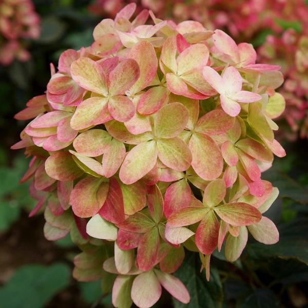 Hortenzie - Hortenzia metlinatá ´Graffiti´