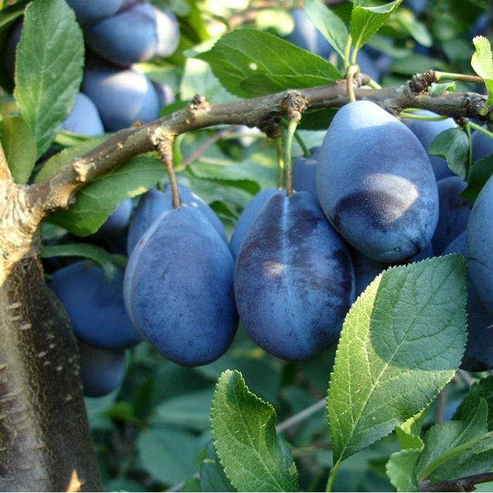 """Ovocné stromy - Slivka """"Valjevka"""" jesenná"""