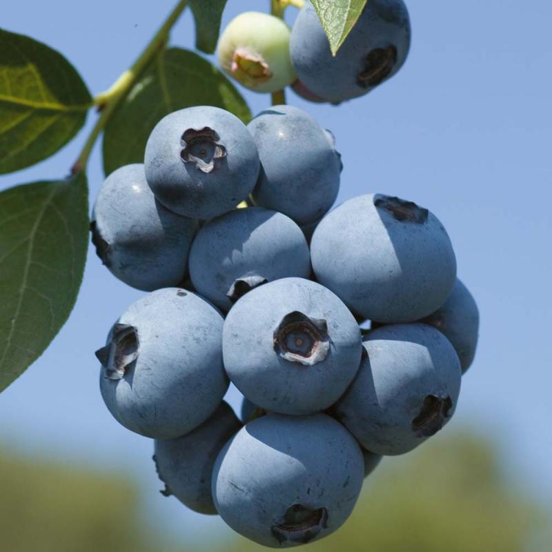"""Drobné ovocie - Čučoriedka kanadská """"Brigita"""""""