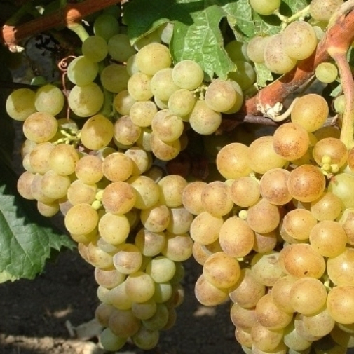 Viniče - Vinič stolový ´Polockei muskotal´