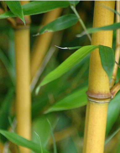Bambus zlatý